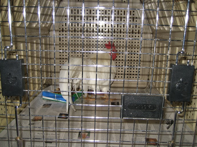 Rooster in a travel crate