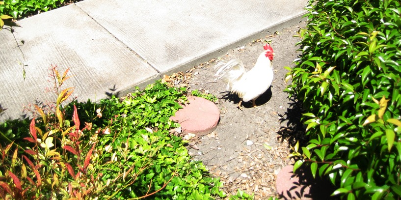 Rooster at Colony Green